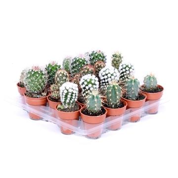 Cactus mini mix 3,5 cm