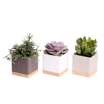 SP69) Succulent in vierkante keramiek pot Tumba