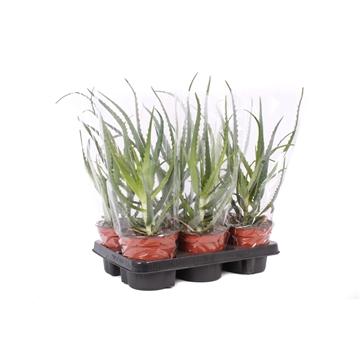ARBO14 Aloe arborescens 14 cm + hoes