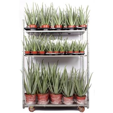 Aloe vera mix cc diverse potmaten