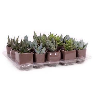 Aloe mix 5,5 cm in taupe design potje