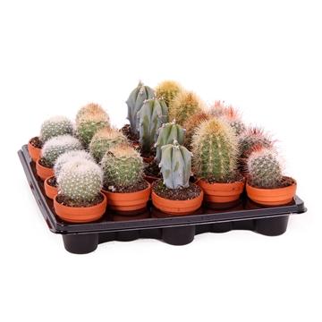 Cactus mix 3,5 cm terracotta pot