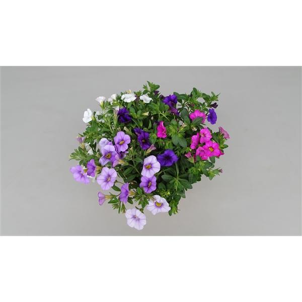 Cali Kwartet blauw-lavender-wit-rose