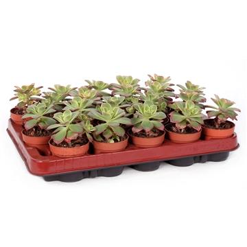 Aeonium tricolor 6,5 cm