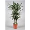 Drac Warneckei bush 100-110 cm