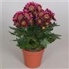 Chrysanthemum Indicum Chrysanne® 'Unique' Disco Club