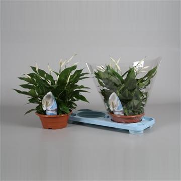 Spathiphyllum 23 cm 'Bellini®' in schaal Decorum RO