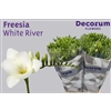 Freesia White River