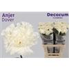Dianthus St. Dover Decorum