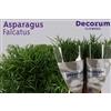 Asparagus falcatus 60cm DC