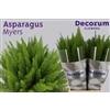 Asparagus myers 40cm DC