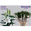 Lilium Or Universe