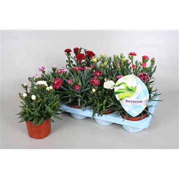 Dianthus caryophyllus mixtray