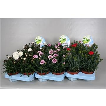 Dianthus caryophyllus divers