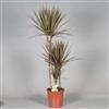 Drac Bicolor 75-45-15 cm stam