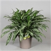 Aglaonema Cutlass in deco pot