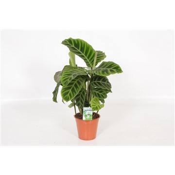 Calathea Zebrina 14 cm