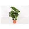 Calathea Zebrina 14 cm - Losse plant [Algemeen]