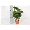 Calathea Zebrina 14 cm - Meetlatfoto [Algemeen]