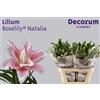 Lilium Roselily Natalia