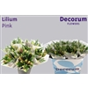 Lilium Or Pink (Price per bunch)