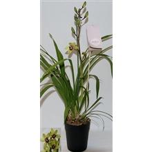 Cymbidium suzy 1 tak orchidiva