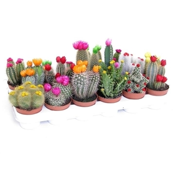 Cactus stro disco 8,5 cm