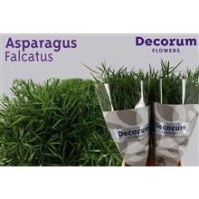 Asparagus falcatus 65cm DCs