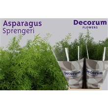Asparagus Sprengeri 65cm DCs