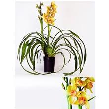 Cymbidium claret flor 2 tak