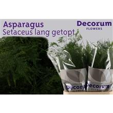 Asparagus setaceus lang getopt 85cm DCs
