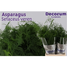 Asparagus setaceus extra veren 65cm DCs