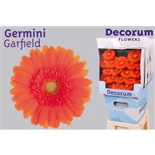 Germini diamond Garfield