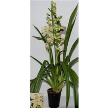Cymbidium let flor 3 tak