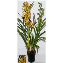Cymbidium diva flamed 3-4 tak
