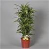 Drac Lemon Lime bush 100-110 cm