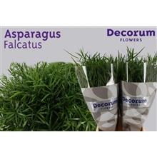 Asparagus falcatus 85cm DCs