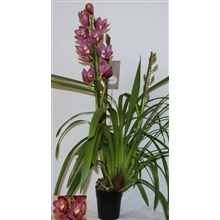 Cymbidium diva big pink 3 tak