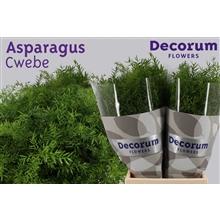 Asparagus cwebe 40cm DCs