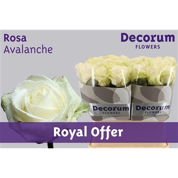 Rosa Avalanche+ (Royal Offer)