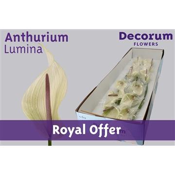 Anthurium Lumina 11cm (Royal Offer)