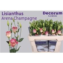 Lisianthus Arena Champagne