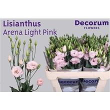 Lisianthus Arena Light Pink