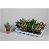 Sansevieria Dwarf gemengd in tray (3-4 soorten) (Decorum)