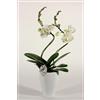 Phalaenopsis Hurricane wit in Carly pot (Decorum)