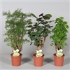 Polyscias 2-3 soorten gemengd (RUSSIA) (Decorum)