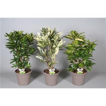 Croton Special mix vertakt in deco pot P25