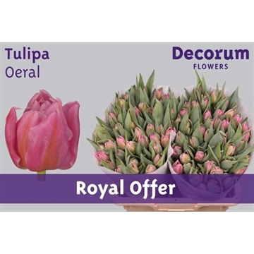 Tulipa Oeral (Royal Offer)