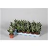 Sansevieria Zeylanica (dwarf) (Decorum)