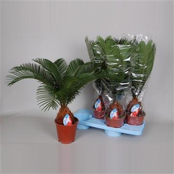 Cycas revoluta 6-8 blad